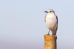 Wit-Rumped Monjita (Xolmis-velatus) rustend op boomstam Stock Afbeelding