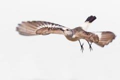 Wit-Rumped Monjita (Xolmis-velatus) vliegend op witte achtergrond Royalty-vrije Stock Afbeelding