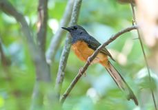 Wit-rumped shama royalty-vrije stock afbeelding