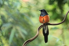 Wit-Rumped Shama Stock Foto