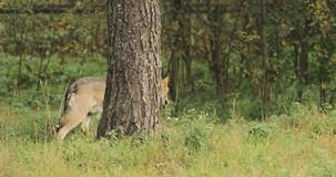 wit-rusland Forest Eurasian Wolf - Canis Lupus Running In Autumn Forest stock footage