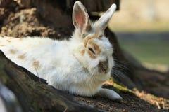 Wit slaperig konijn stock afbeelding