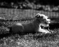 Wit Stuk speelgoed Schnauzer Royalty-vrije Stock Fotografie