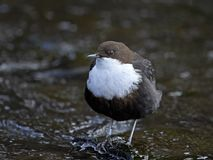 Wit-Throated Dipper cinclus van Cinclus Royalty-vrije Stock Foto's
