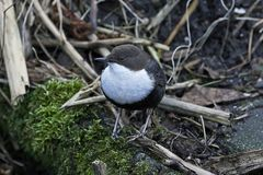 Wit-Throated Dipper cinclus van Cinclus Stock Foto