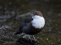 Wit-Throated Dipper cinclus van Cinclus Stock Fotografie