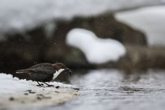Wit-Throated dipper in sneeuwdaling royalty-vrije stock foto's