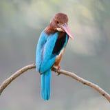 Wit-Throated Ijsvogel Royalty-vrije Stock Afbeeldingen