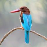 Wit-Throated Ijsvogel Stock Afbeeldingen