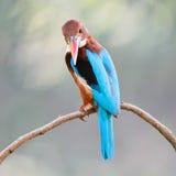 Wit-Throated Ijsvogel Royalty-vrije Stock Fotografie