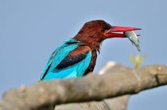 Wit-Throated Ijsvogel (Ijsvogelsmyrnensis) Stock Foto's