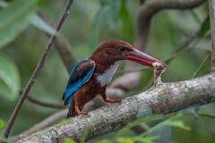 Wit-Throated Ijsvogel met vissen Royalty-vrije Stock Foto's