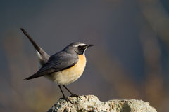 Wit-Throated Robin Stock Foto