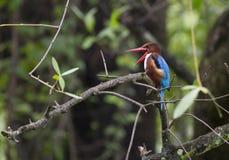 Wit-Throated smyrnensis van de Ijsvogelijsvogel Royalty-vrije Stock Fotografie