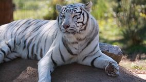 Wit Tiger Lying Down On Ground stock video