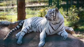 Wit Tiger Lying Down On Ground stock footage