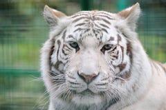Wit tijger volledig gezicht royalty-vrije stock afbeeldingen