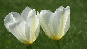 Wit tulpenclose-up Foto in de tuin wordt genomen die stock footage
