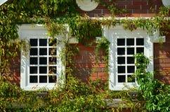 Wit venster op groene muur met klimplant Natuurlijke groene de dekkingsmuur van het bladgras met witte vensterachtergrond, de vri Royalty-vrije Stock Afbeelding