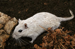 Wit vrouwelijk knaagdier in openlucht Stock Fotografie