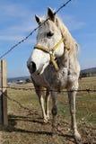 Wit vrouwelijk paard die zich achter de prikkeldraadomheining bevinden Stock Fotografie
