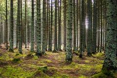 Świt w lesie Zdjęcia Royalty Free