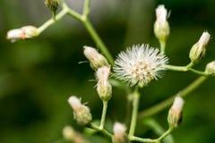 Wit Weinig bloem Macroschot Stock Afbeeldingen