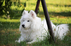 Wit weinig samoyed puppyhond bij tuin Stock Afbeeldingen