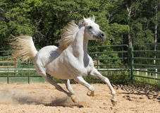 Wit wild paard Stock Foto's