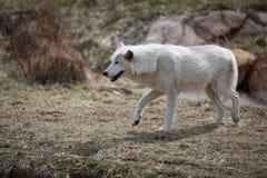 Wit Wolf Walking stock fotografie