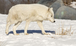 Wit Wolf Walking In The Snow stock afbeelding