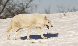 Wit Wolf Walking In The Snow op Heuvel stock foto