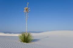 Wit Zand - Eenzame Yucca stock fotografie