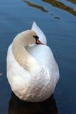 Wit zwaan bevallig gekronkel Royalty-vrije Stock Afbeeldingen