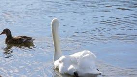 Wit Zwaan en Duck Floating In Pond stock video