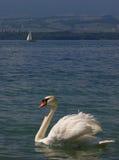 Wit zwaan en jacht royalty-vrije stock fotografie