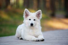 Wit Zwitsers herderspuppy die in openlucht stellen royalty-vrije stock afbeelding
