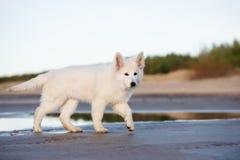 Wit Zwitsers herderspuppy op het strand stock afbeeldingen