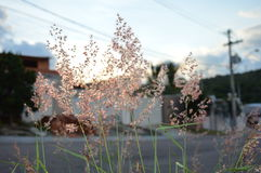Witch Broom. Photo of a plant called Witch Broom on the sunset Royalty Free Stock Image