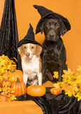 Witch Dogs Royalty Free Stock Photo