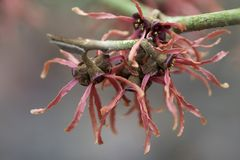 Witch hazel. Red witch hazel in flower in winter in january royalty free stock photos