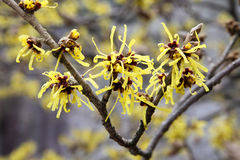 Witch hazel stock photography