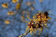 Witch-hazel Royalty Free Stock Image