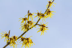 Witch hazel Royalty Free Stock Images