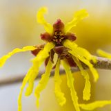 Witch hazel Stock Photo