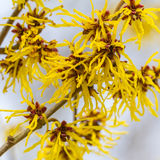 Witch hazel. Yellow red blossom of a wild witch hazel in front of a blue sky stock photography