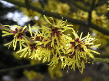 witch hazel Royalty Free Stock Photo