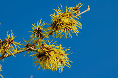 Witch hazel Royalty Free Stock Photography