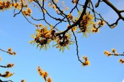 Witch Hazel against blue sky. Witch Hazel in flower in January against clear blue sky Stock Photo