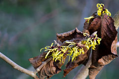 Witch hazel in bloom with dry leaves Stock Photos
